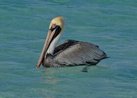 Американский бурый пеликан, Pelecanus occidentalis carolinensis, Brown Pelican