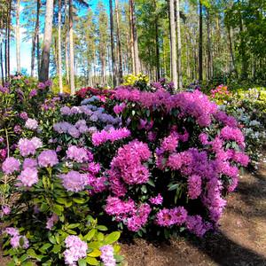 Рододендроновый рай между Ригой и Юрмалой