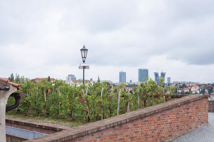 Виноградники в Вышеградских садах
