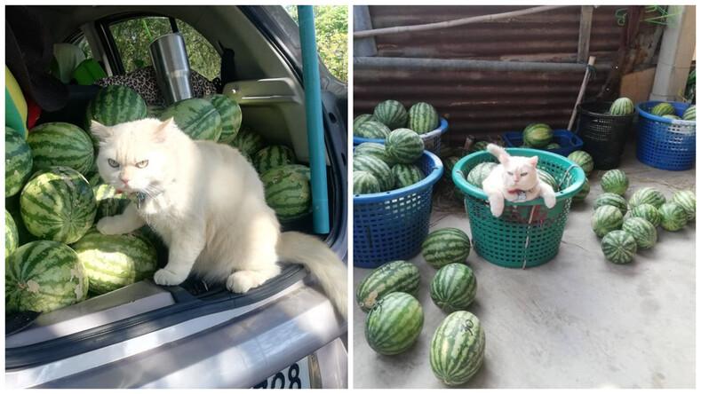 Суровый кот, охраняющий арбузы на рынке, стал звездой Интернета (сила взгляда, от которого разбегаются воришки)