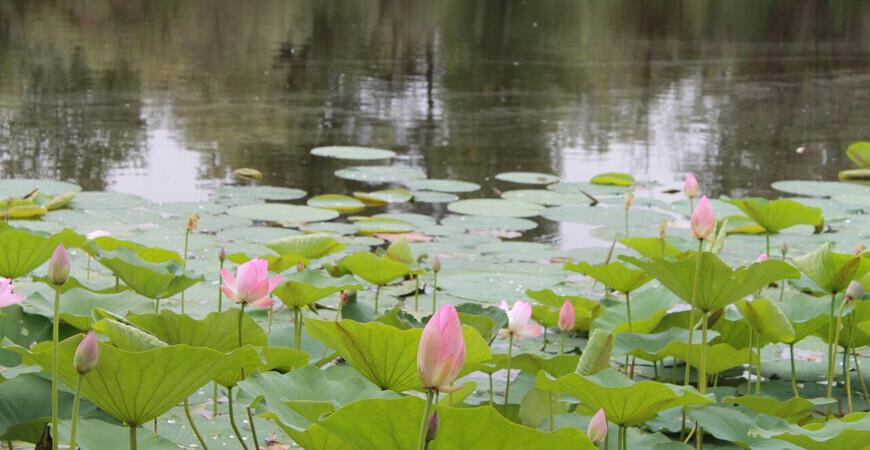 Озеро лотосов в Волгоградской области