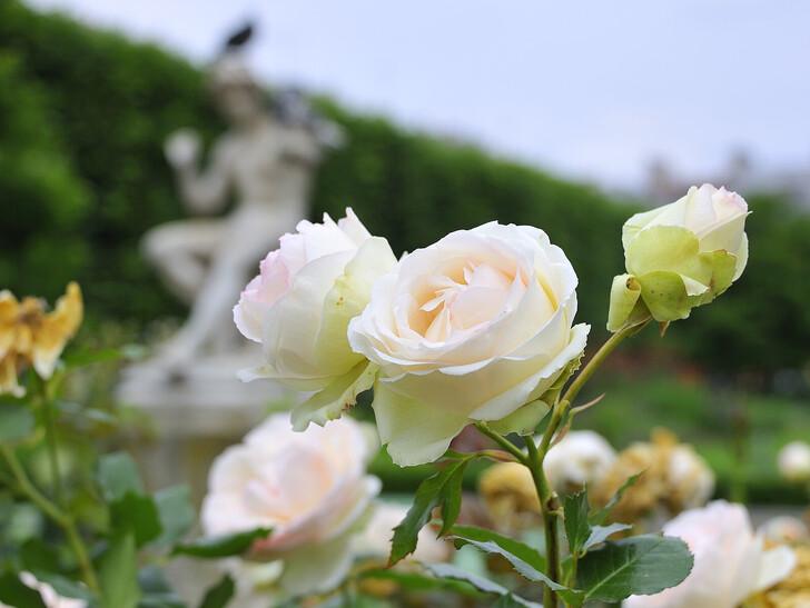 Розы в Люксембургском саду