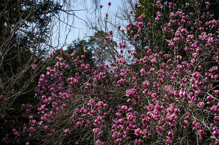 Цветение магнолии Суланжа в парке Южные культуры
