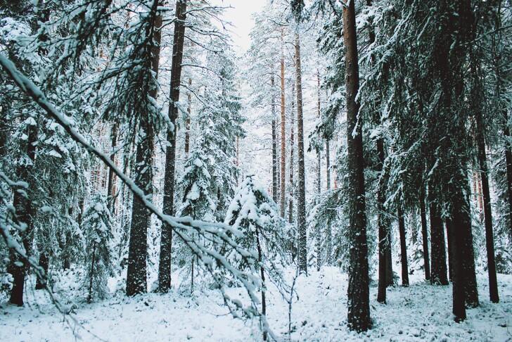 Заснеженный лес Карелии