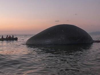 В Индонезии на пляж выбросило гигантского кита (ВИДЕО)