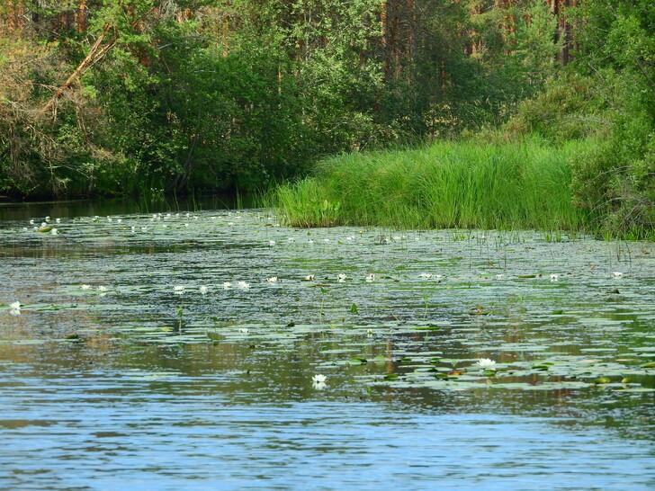 Черная речка с кувшинками