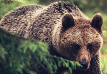 Ребёнок 11 лет погиб при нападении медведей в Сочи
