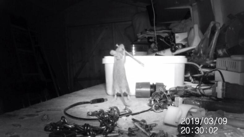 Думал, что сошел с ума: мужчина поймал мышь, которая каждую ночь прибирала его захламленный гараж (невероятные кадры с камеры видеонаблюдения)