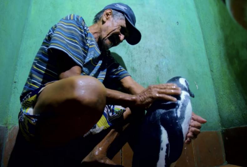 Рыбак спас пингвина от голодной смерти птица проплывает по 8 тыс. километров, чтобы вновь встретиться со своим другом
