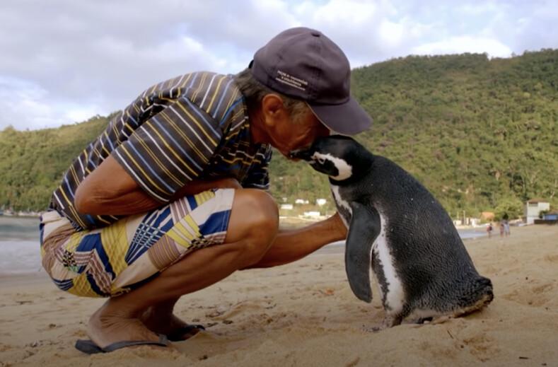 Рыбак спас пингвина от голодной смерти: птица проплывает по 8 тыс. километров, чтобы вновь встретиться со своим другом
