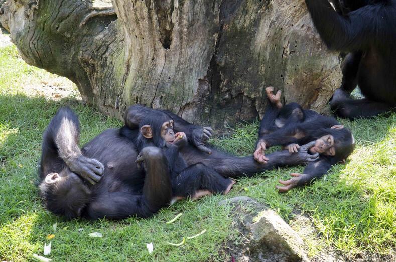 Мягкая игрушка временно заменила брошенному детенышу шимпанзе маму: история спасения малыша и его фото