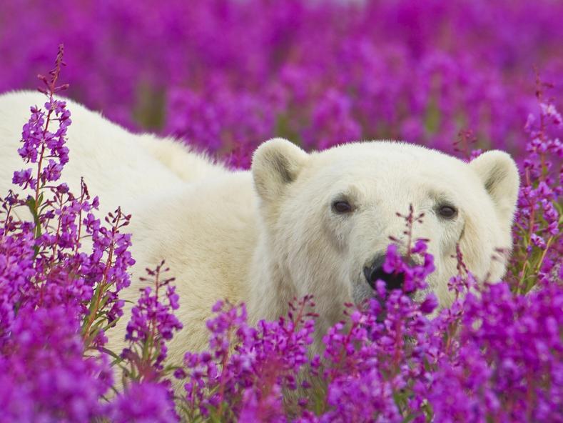 Фотограф снял, как полярные медведи резвятся в цветочном поле (эти снимки сделают ваш день)