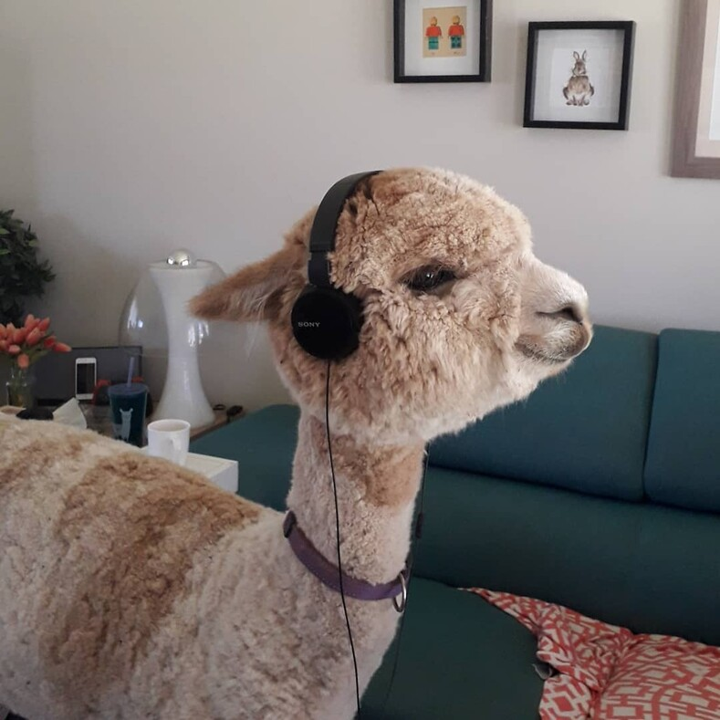 Муж в тайне от жены купил альпака, и ей пришлось смириться с цоканьем копыт по утрам