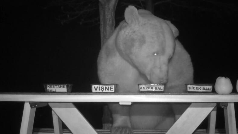 Фермер едва не разорился из-за медведей, которые громили его пасеку: мужчина нашел выход установил камеры и превратил ночной погром в дегустацию