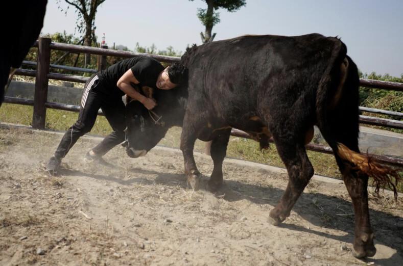 Китайская коррида: мастера восточных единоборств пытаются повалить разъяренных быков на землю