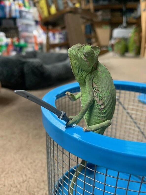 С этим хамелеоном шутки плохи: ящерица с игрушечным оружием в лапках. Сами не понимаем, почему это так смешно