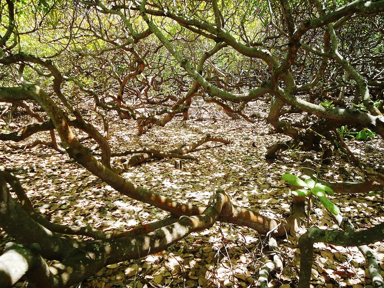 Вы удивитесь, узнав, что все стволы в этом лесу - это ветви одного дерева-мутанта