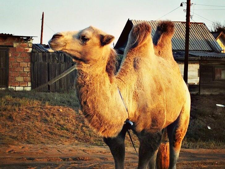 Астраханский верблюд