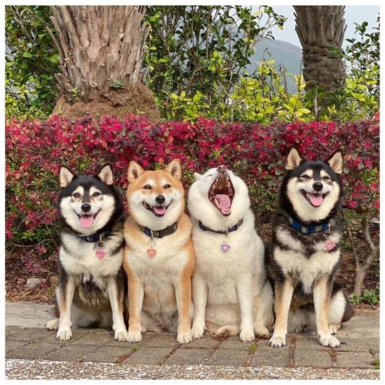 Собака, которая постоянно портит семейные снимки (и это никак не исправить) смешные фото, прославившие вредину на весь мир