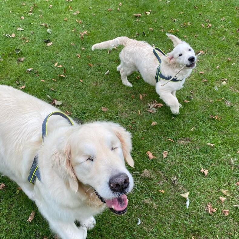 Щенок-поводырь для слепого пса: добрая история дружбы двух золотистых ретриверов