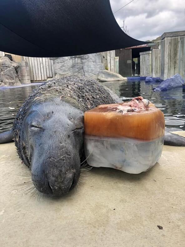 Тюлень не смог сдержать радости, когда ему подарили ледяной торт из рыбы
