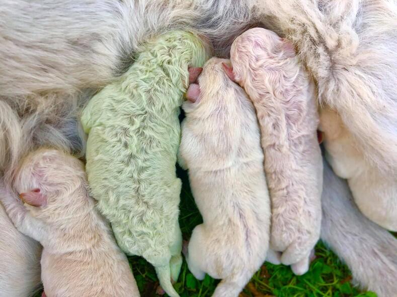 Зеленый щенок на итальянской ферме родился щенок с необычным окрасом шерсти