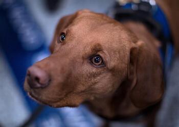 Собаки смогли выявить коронавирус с той же точностью, что и тест ПЦР