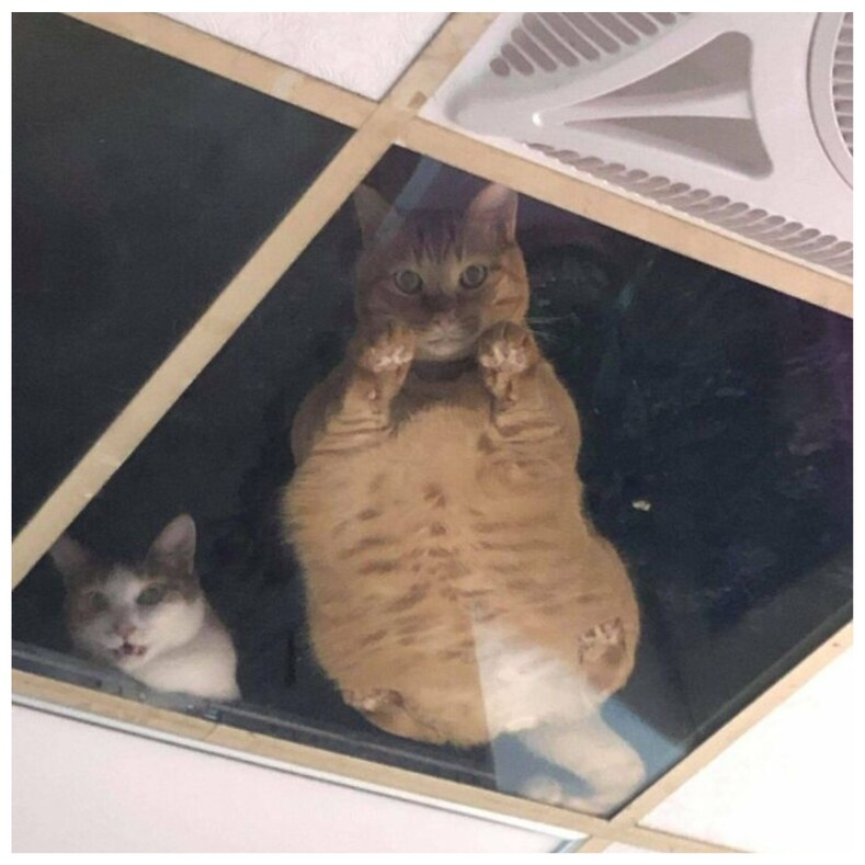 Владелец магазина установил стеклянный потолок, чтобы его коты могли сверху наблюдать за ним и глазеть на посетителей (забавные снимки)