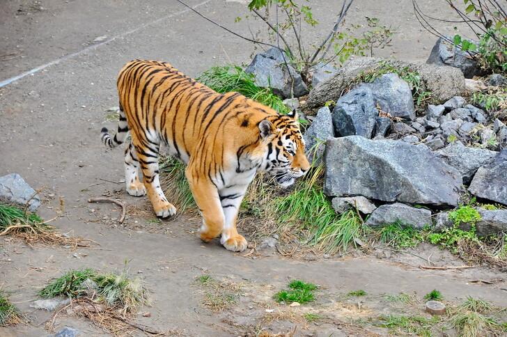 Тигр в Челябинском зоопарке гуляет без клетки