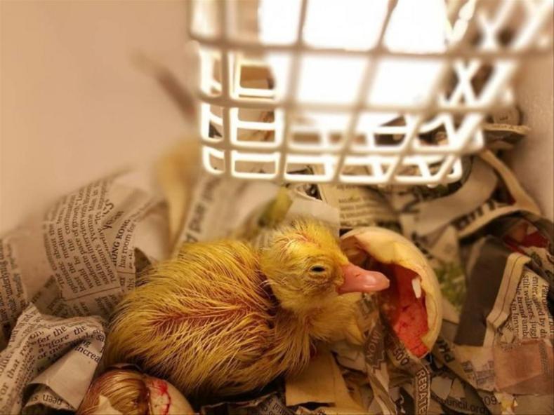 Женщина выкупила в ресторане яйцо, которое ей хотели приготовить на обед, и вырастила у себя дома утку (фотоистория чудесного спасения)