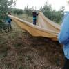 Оливковые рощи в Пунте. По традиции Ассоциация кварнерских гидов помогает в сборе оливок.