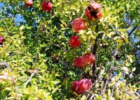 Прелестные картинки, всюду  растут гранаты, лимоны, апельсины! Рвали спелый инжир прямо с веток, вот такие там простые аграрные радости!