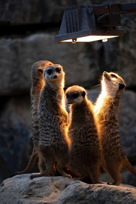 Сурикаты помогли починить свет: один совершенно обычный день электрика зоопарка