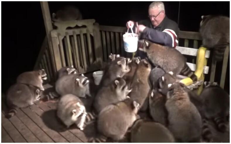 Мужчина вот уже 25 лет каждую ночь кормит хот-догами толпу диких енотов: когда-то он пообещал умирающей жене позаботиться о зверьках и сейчас свято соблюдает традицию