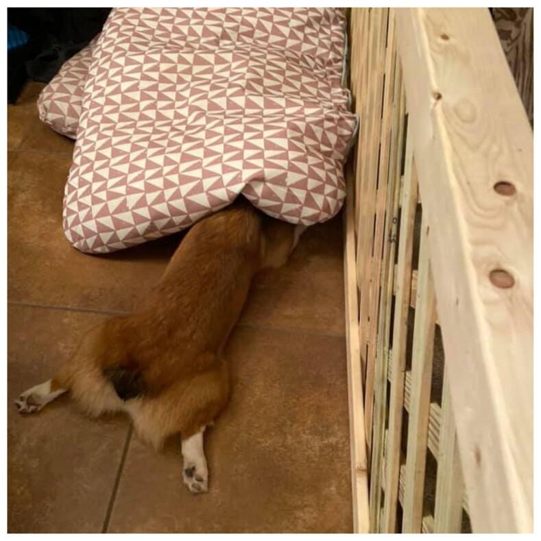 Пользователи показали, как прячутся их собаки, и эта маскировка от самой плохой и смешной до идеальной (фото, которые сделают ваш день)
