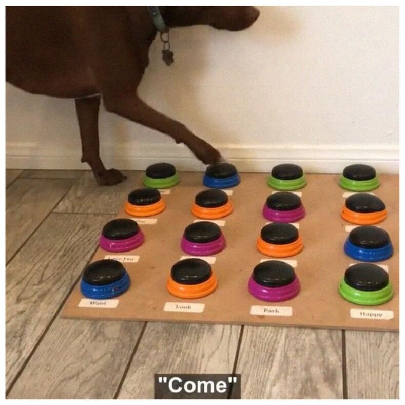 Логопед научила свою собаку разговаривать: питомец уже знает 40 слов и даже ведет с хозяйкой небольшие диалоги (все благодаря чудо-устройству)