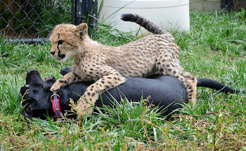 Почему собаки из приютов воспитывают брошенных детенышей гепардов: история Саванны и Макса из зоопарка Цинциннати