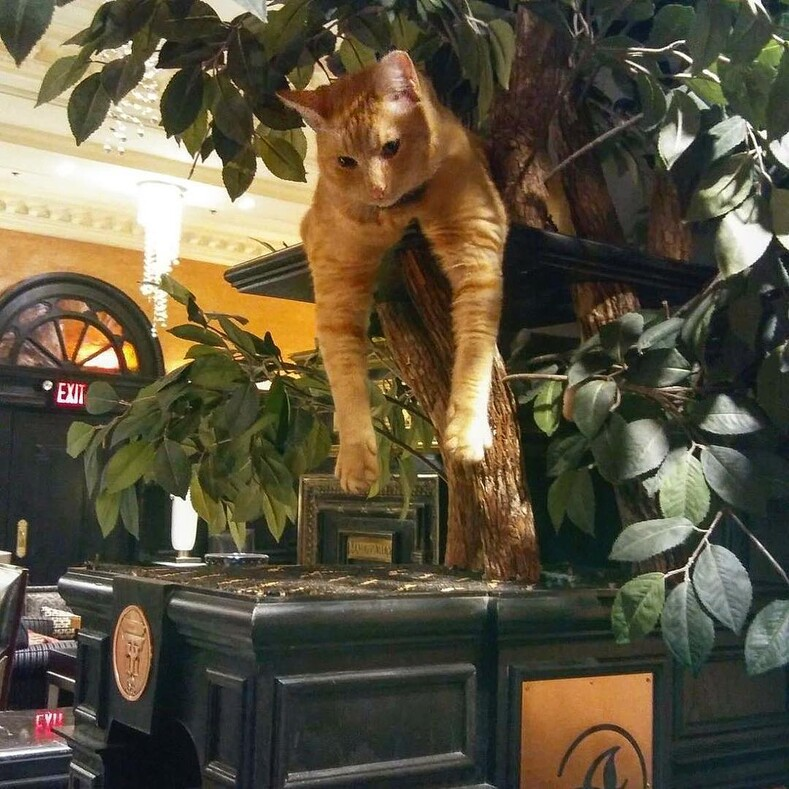 Уличный кот стал метрдотелем старейшего отеля Нью-Йорка: фото городской знаменитости, доказывающие, что у рыжих котов особое очарование