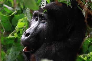 Селфи туристов могут вызвать вспышку COVID-19 среди редкого вида горилл