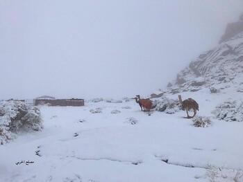 Верблюды в снегу: Саудовскую Аравию накрыли снегопады (ВИДЕО)