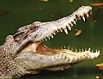 В Паттайе ловят сбежавших крокодилов