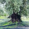 Оливковое дерево 800лет при монастыре