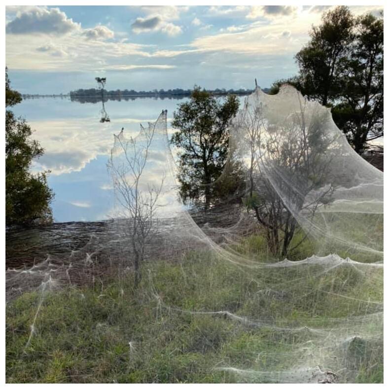 Фото: в Австралии миллионы пауков сплели километры паутины, которая окутала половину штата