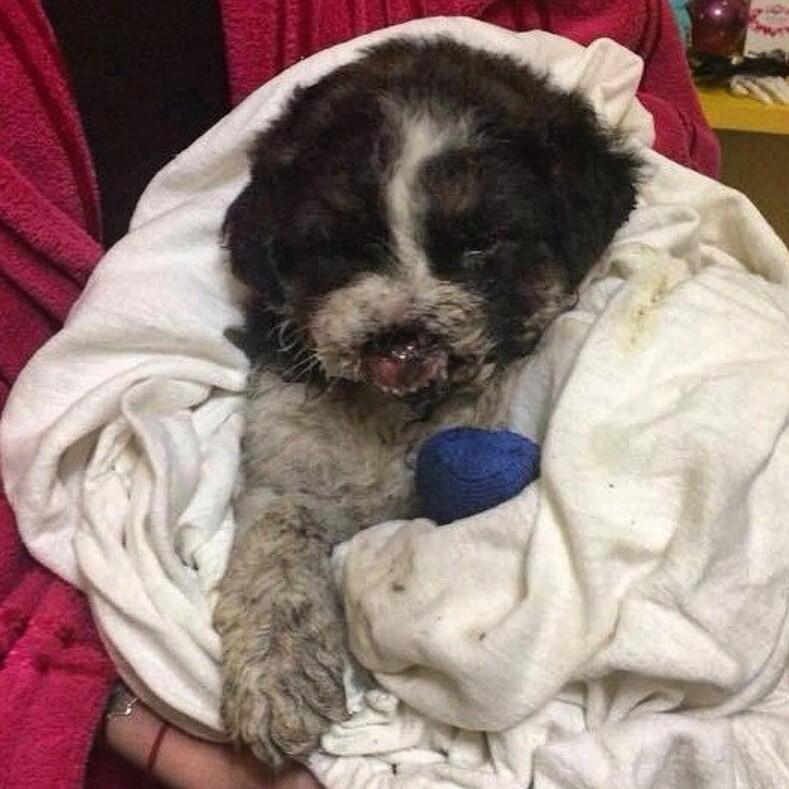 История со счастливым концом щенка нашли у жд станции с разбитым носом и поврежденной лапкой, однако малыш выжил и обрел любящую семью (особо впечатлительным лучше не смотреть на фото)