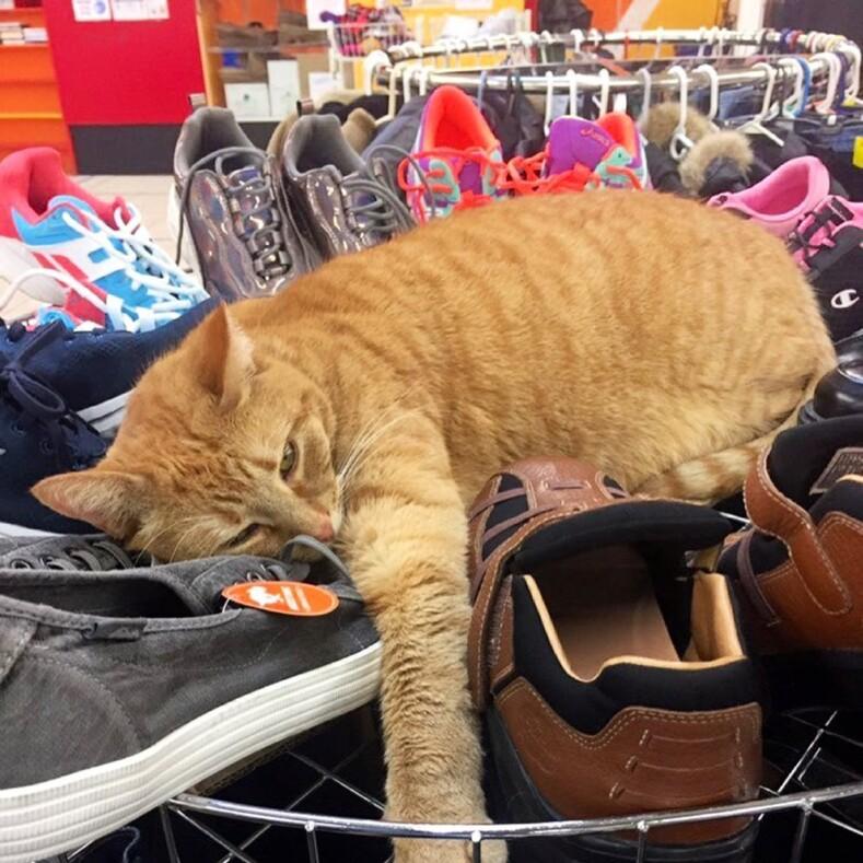 Повзгляду понятно, кто здесь хозяин: фото котов, захвативших супермаркеты ирассчитывающих, что выхорошенько здесь раскошелитесь (выбирайте вкусняшка или кусь)