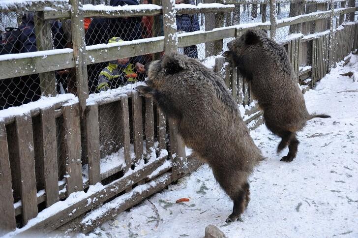 Кабаны - одни из обитателей зоокомплекса «Три медведя»