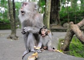 Мартышки на Бали