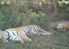 Сафари-парк тигров 4.JPG
