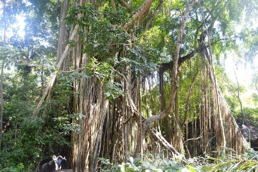 Лианы в Лесу обезьян