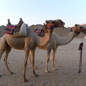 СуперСафари - Аравийская пустыня